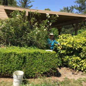 Rose pruning SOMA 024